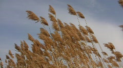 Common reed grass (Phragmites australis) panicles swaying in the wind  - stock footage