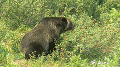 Grizzly Bear feeding on berries pj 07 Stock Footage