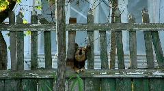 Fierce wolfhound :) Stock Footage
