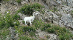 Dall Sheep female on mountain P HD 1559 - stock footage
