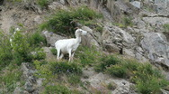 Dall Sheep female on mountain P HD 1559 Stock Footage