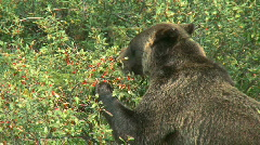 Grizzly Bear feeding on berries pj 06 Stock Footage