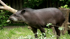 South american Tapir (Tapirus Terrestris) Stock Footage