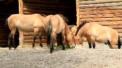 Przewalski horses Stock Footage