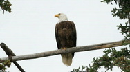 Bald Eagle perch P HD 1388 Stock Footage