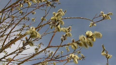 Blooming common willow (Salix alba) swaying in the wind against a blue sky attra Stock Footage