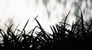 Grass silhouette Stock Footage