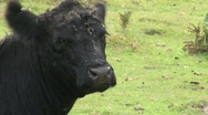 Stock Video Footage of cow chewing the cud