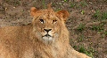 Lioness HD Footage