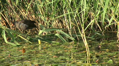 Coot in cane Stock Footage