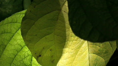 Destroyed leaf in the light Stock Footage