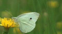 White butterfly Stock Footage