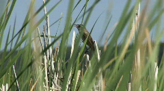 Acrocephalus schoenobaenus Stock Footage