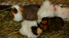Several guinea pigs Stock Footage