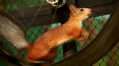 Squirrel in a cage - stock footage