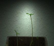 Growing Marijuana from seeds Timelapse Stock Footage