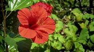 Stock Video Footage of Hibiscus
