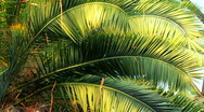Beautiful palm branches Stock Footage