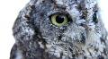 Western Screech Owl 4 Footage