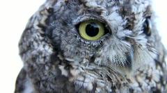 Western Screech Owl 4 Stock Footage