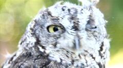 Western Screech Owl 2 Stock Footage