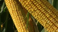 Stock Video Footage of Corn Stalk 1