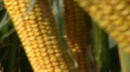 Stock Video Footage of Corn Stalk 3