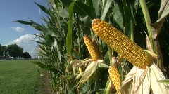 Corn Stalk 4 Stock Footage