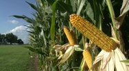 Stock Video Footage of Corn Stalk 4