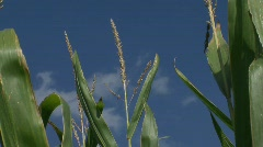 Corn Stalks Close Up_2 - stock footage