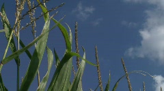 Corn stalks on a sunny day - stock footage