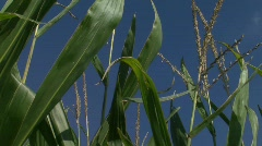Corn Stalks_Pan Right - stock footage