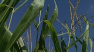 Stock Video Footage of Corn Stalks_Pan Right