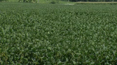 Soy Bean Field_2 - stock footage