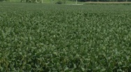 Stock Video Footage of Soy Bean Field_2