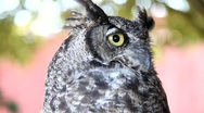 Stock Video Footage of Great Horned Owl 8