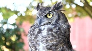 Stock Video Footage of Great Horned Owl 7