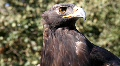 Golden Eagle 7 HD Footage