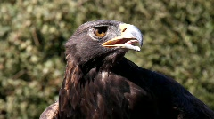 Golden Eagle 5 Stock Footage