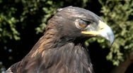 Stock Video Footage of Golden Eagle 2