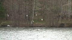 European herring gulls (Larus argentatus) and black-headed gulls (Chroicocephalu Stock Footage