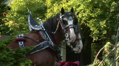 Draft Horses In Harness Stand And Fidget Stock Footage