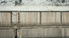 Infrared fauna: seagull resting on a bridge fence Stock Footage