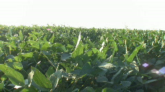 Iowa Soybean Field. Stock Footage
