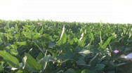 Stock Video Footage of Iowa Soybean Field.