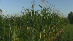 Iowa Corn Field Wide Stock Footage