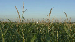 Iowa Corn Field Blowing in wind # 2 Stock Footage