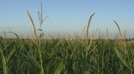 Stock Video Footage of Iowa Corn Field Blowing in wind # 2