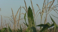 Stock Video Footage of Iowa Corn Blowing in wind