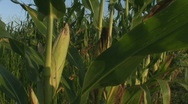 Stock Video Footage of Iowa Corn Close up # 2